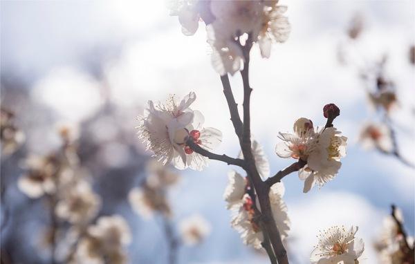 うしく、筑波のヨガおすすめ【桜について】